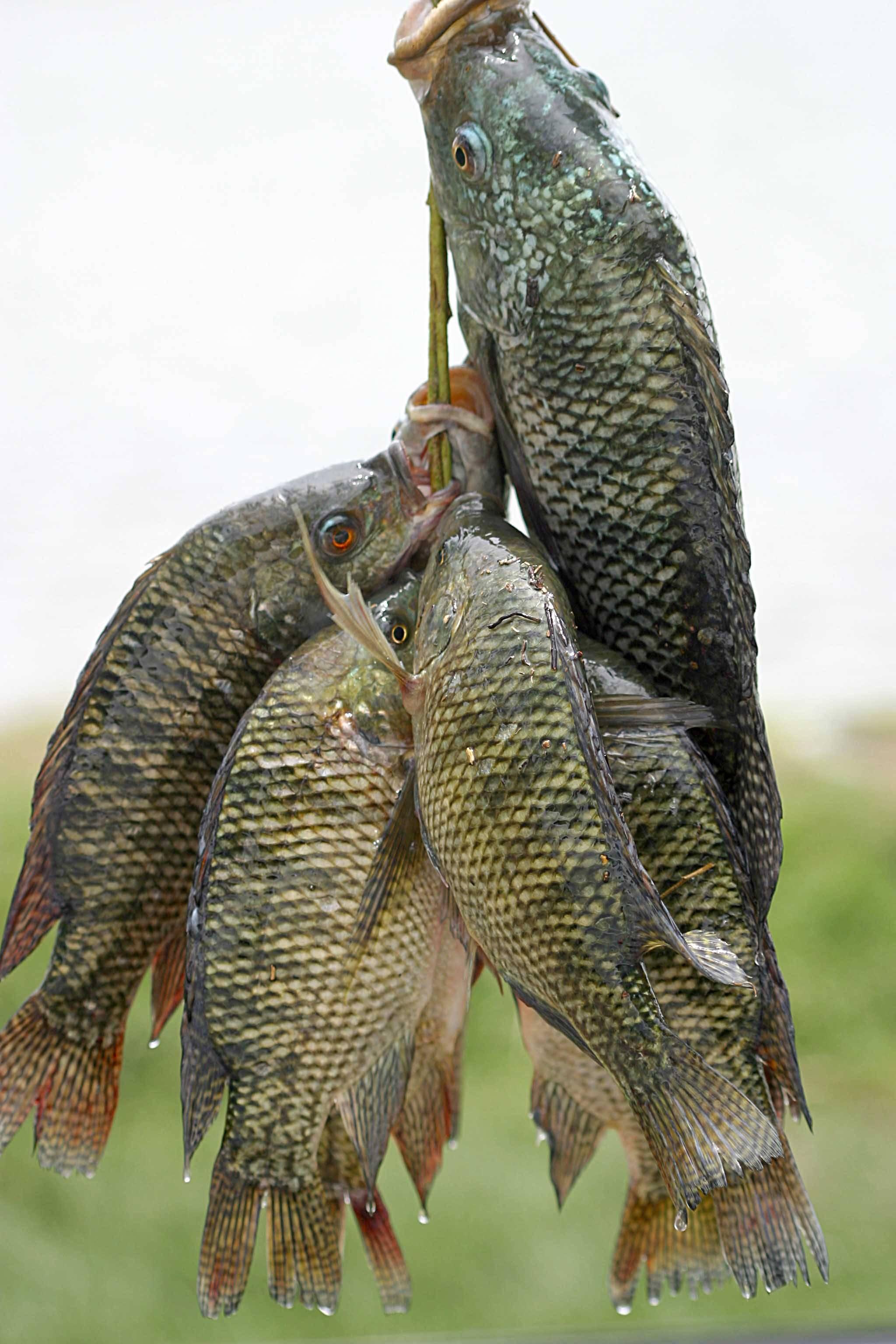 Tilapia Fish Frozen