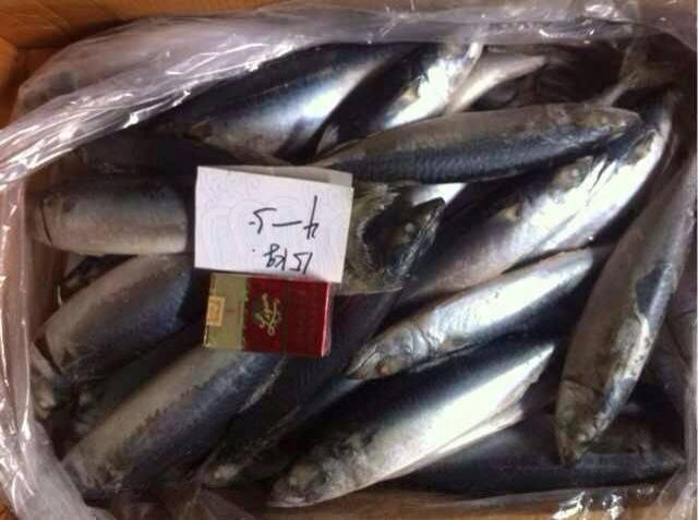 Frozen pacific mackerel (scomber Japonious)