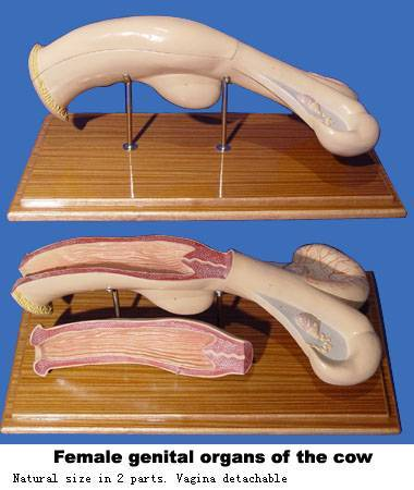 VM036: Female genital ograns of the cow