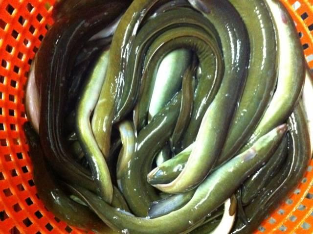 live eel (anguilla rostrata)
