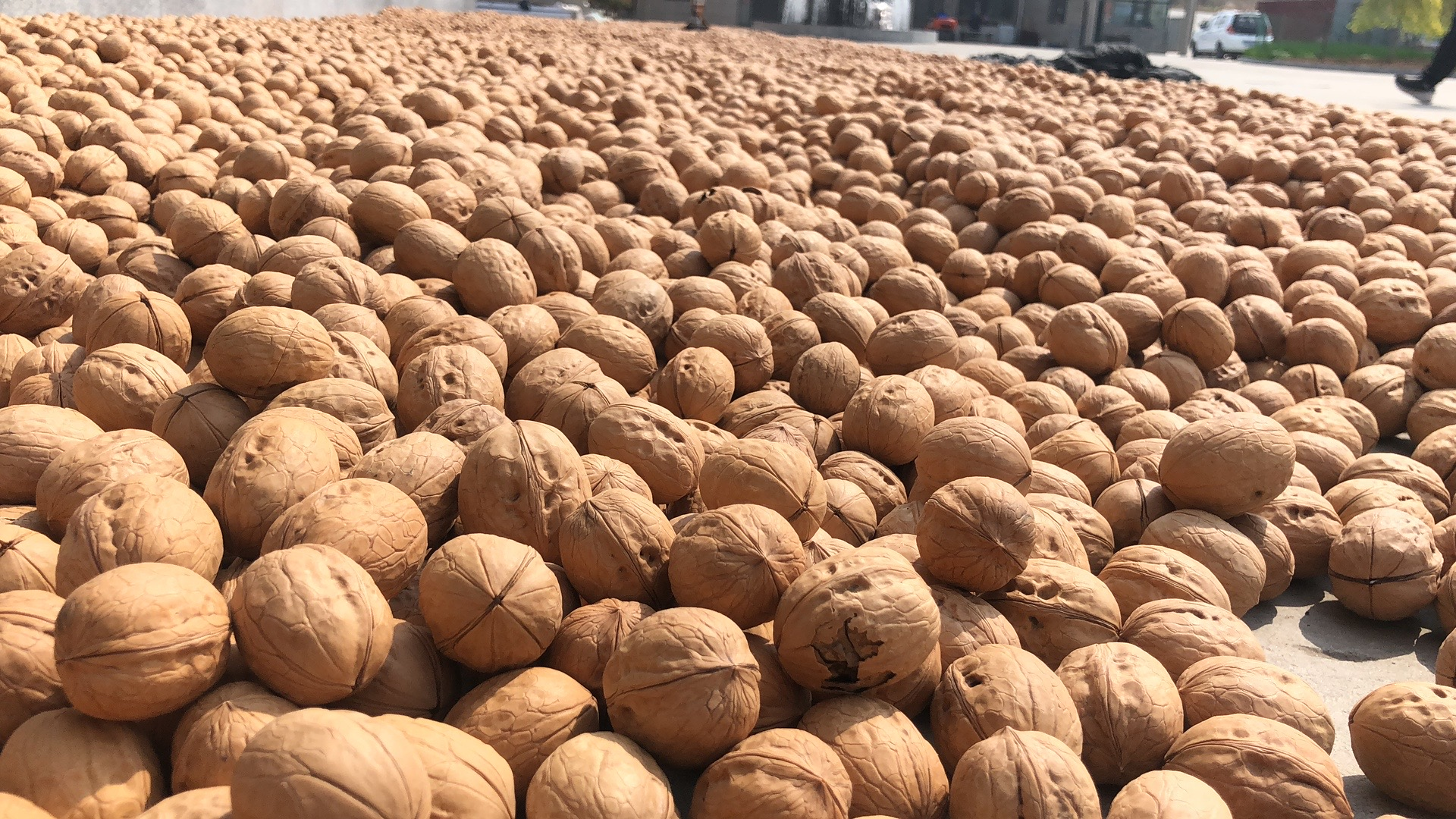 Raw processing type fresh of dried in shell walnuts at low price