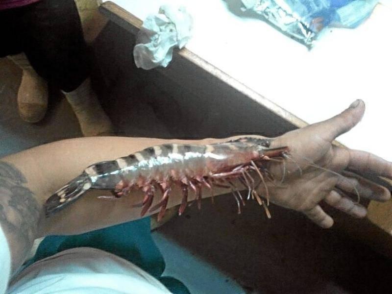 Shrimps Black Tiger Penaeus monodon