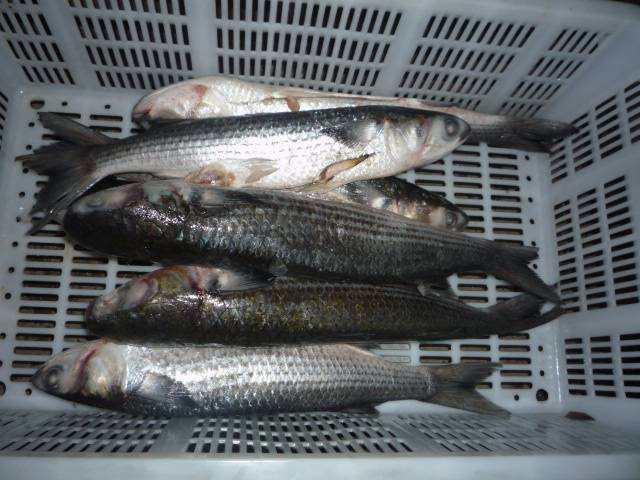 Sell grey mullet