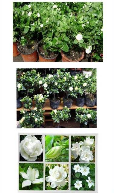 Sell Gardenia jasminoides (flowering plant)