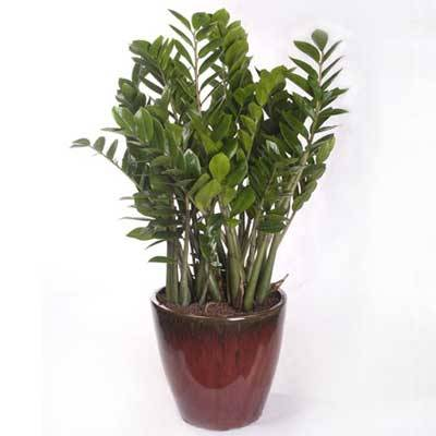 Sell Zamioculcas zamiifolia (indoor plant)