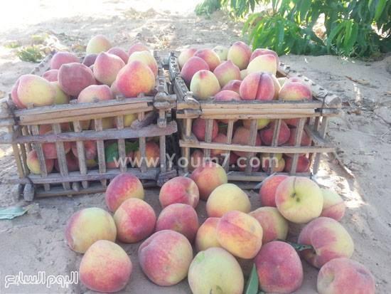 Sinai_Future(Fruit)