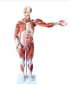 80CM HUMAN MUSCLE MODEL MALE (27 PARTS)