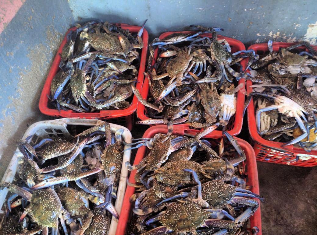 Fresh Blue Swimming Crabs