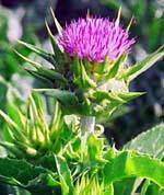 Sell Milk Thistle extract-Silymarin