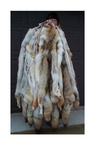Coyote Pelts