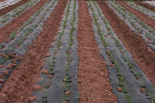 Black Agriculture PE Mulch Film