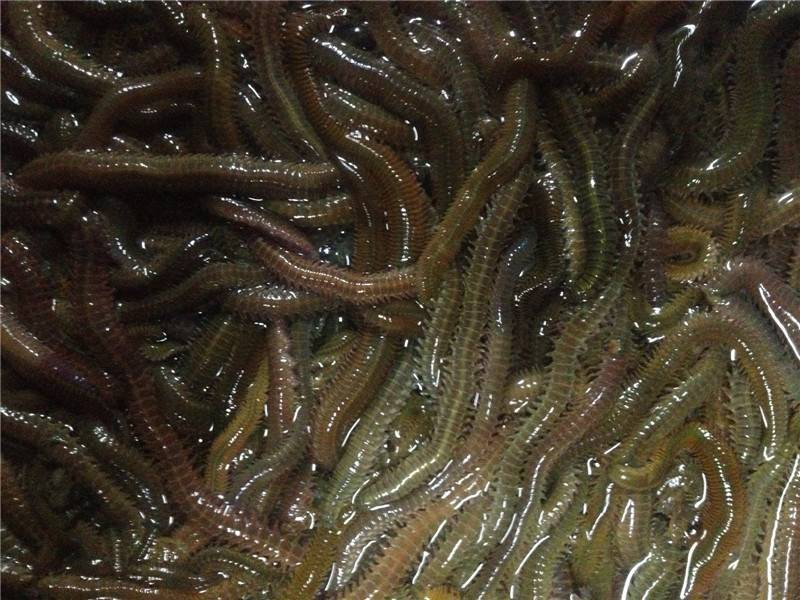 lugworm, lugworm bait, worm bait