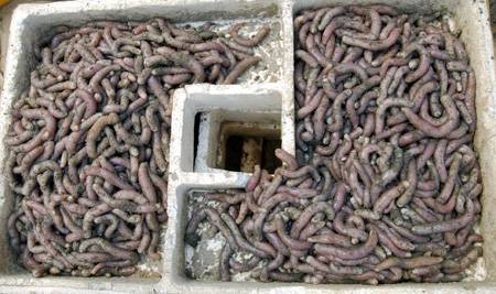 Live bait worms