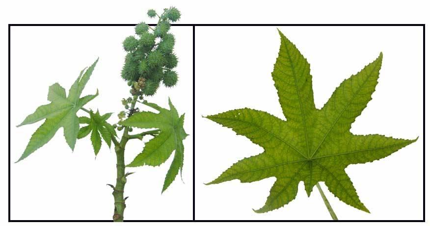 castor High Germination Seeds