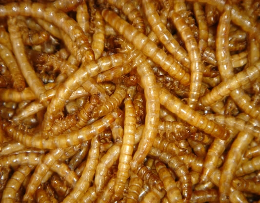 yellow mealworm dried