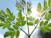 ORIGINAL exports Dried Moringa Leaves, Moringa Seeds
