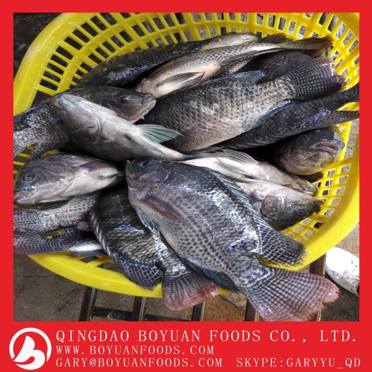 Frozen black tilapia whole round with cheap prices