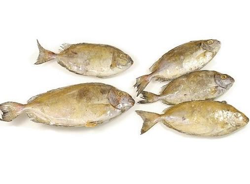 Loking Rabbitfish (Siganus)