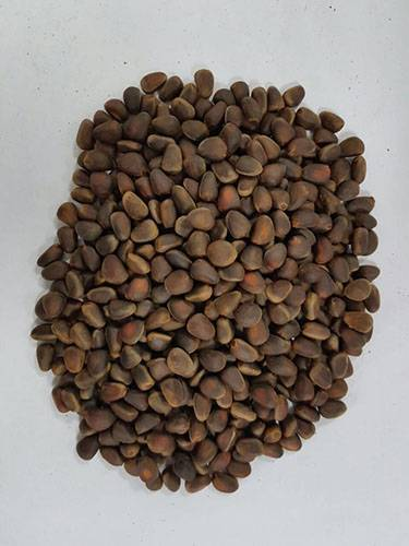 Selling Siberian Pine Nuts