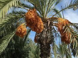 Selling Tunisian Dates