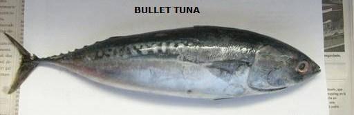 Bullet tuna ( auxis rochei)
