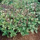 Basil seed oil