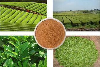 Higher EGCG Green Tea Extract GMP approved factory