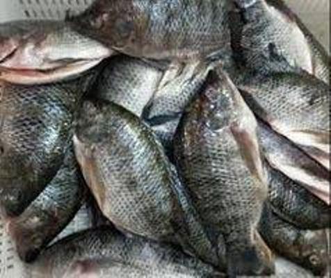 Frozen Red/Black Tilapia Fish Frozen Tilapia Fish W/R