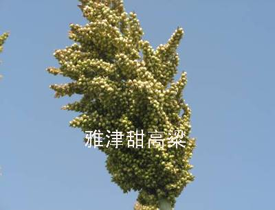 Korea Sweet Sorghum