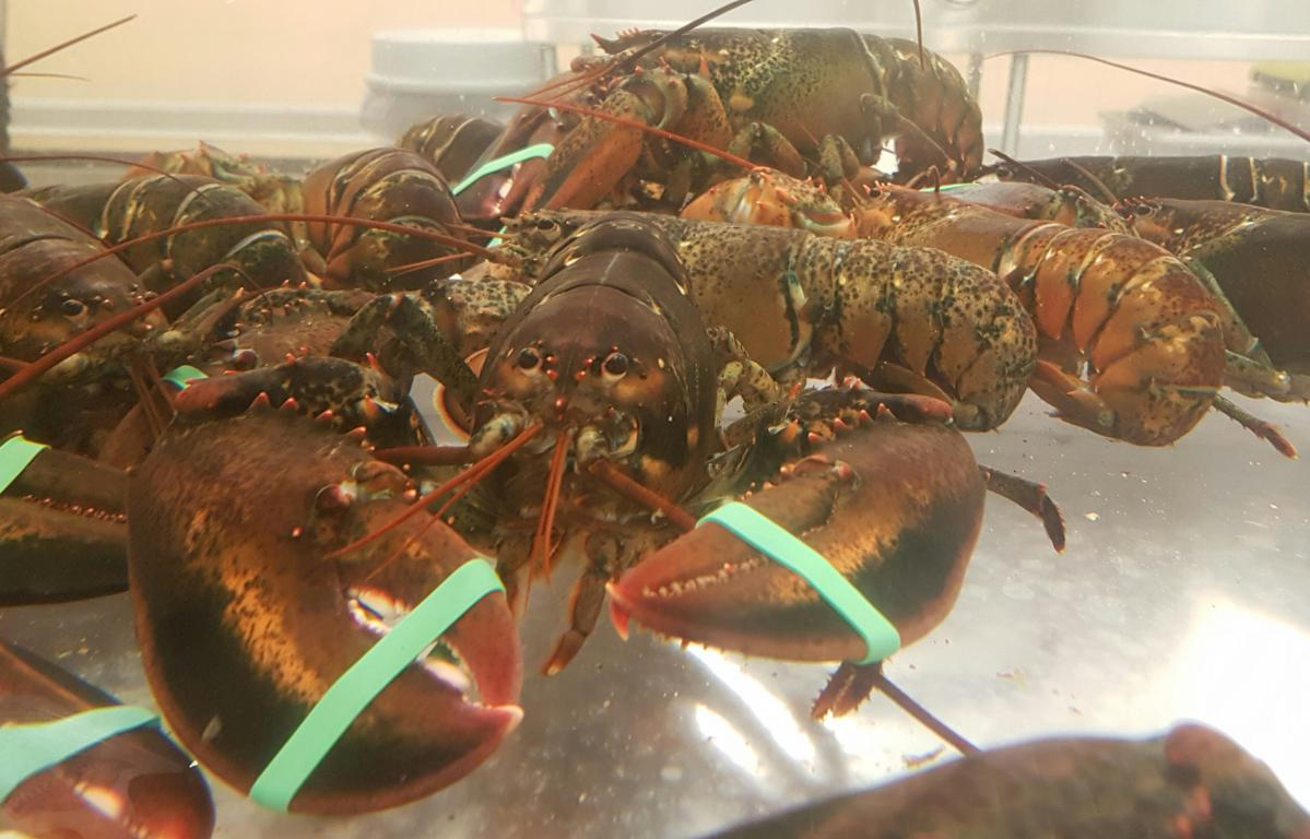 Live Canadian Lobster Homarus Americanus