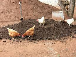 chicken and cow dung manure as organic fertilizer