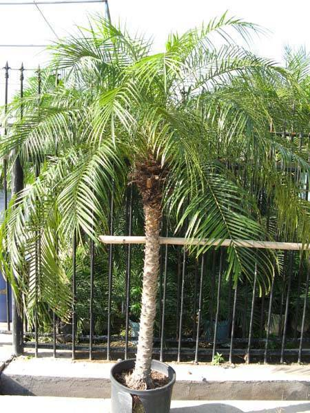 Sell Phoenix roebelenii (palm)