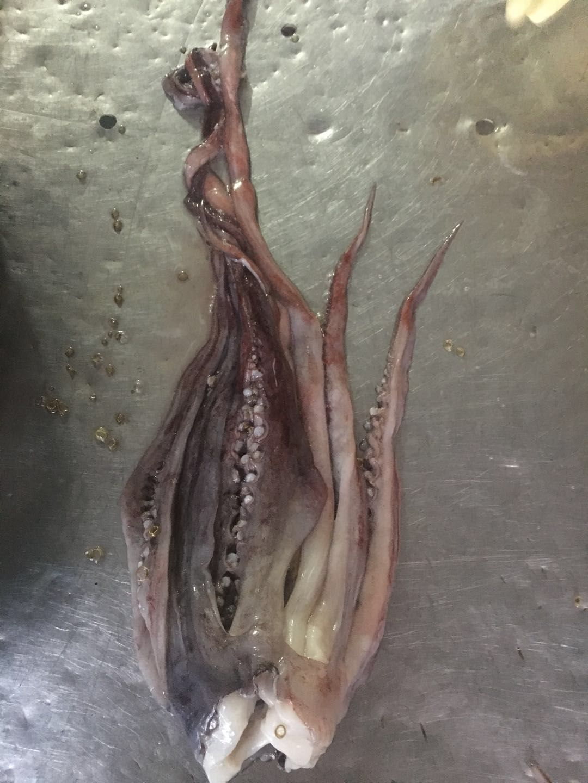 frozen giant squid head