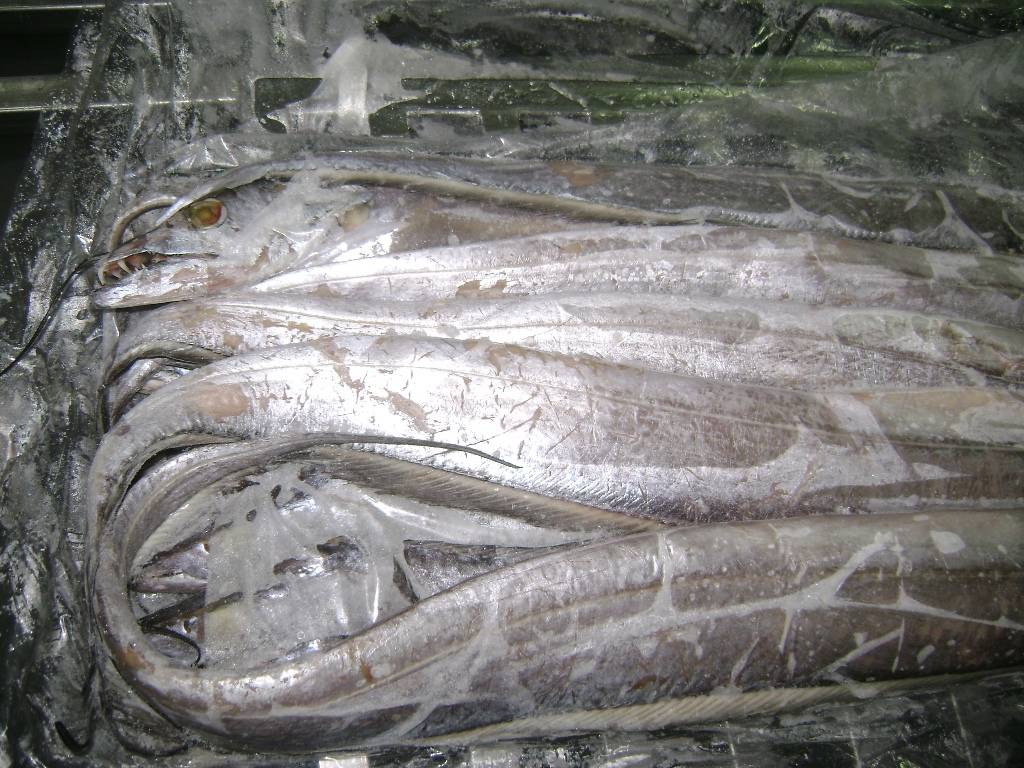 RIBBON FISH AVAILABLE IN LARGE QUANTITIES