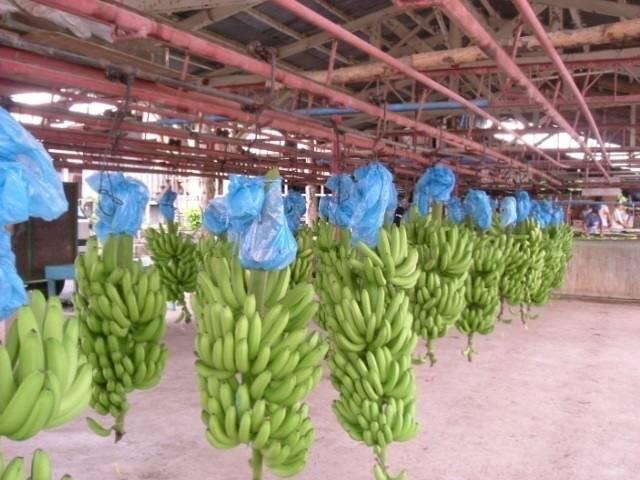 Premium Fresh Cavendish Bananas