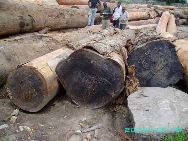 Padouk logs for sell from Cameroon