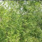 zizyphus jujube leaf extract