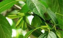 Eucommia Leaf Extract-Chlorogenic Acid 99%