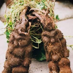 Sell Tuber Fleeceflower Root Extract