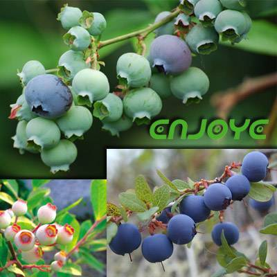 Vaccinium Extract (Bilberry / Cranberry)