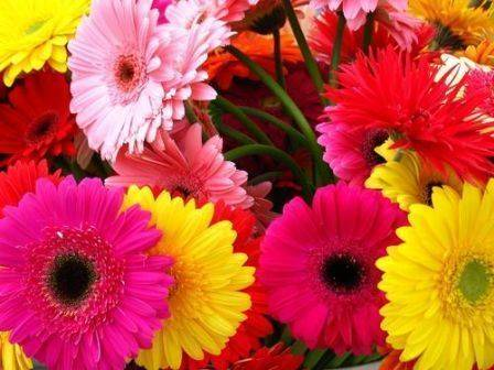 Gerbera for rxport with shinny colors