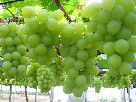 Fresh Grapes,asparagus, beans, broccoli, carrots now available in stock for sale.
