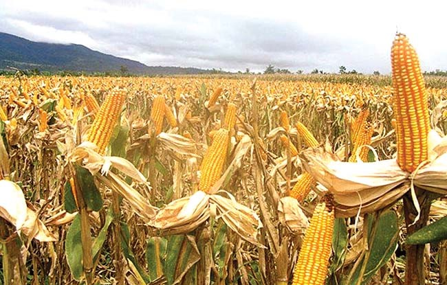 Yellow Maize fpr Feed Grade