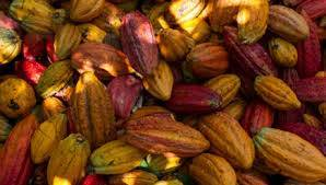 Natural Product High Purity Cocoa Extract