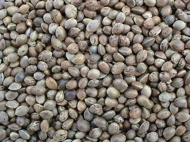 Chinese Hemp Seeds
