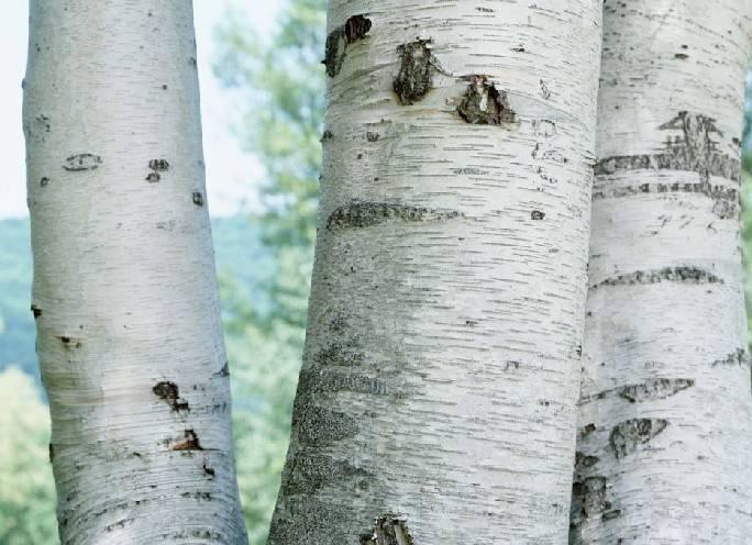 Premium natural ingredients of Birch extract Betulin,Betulinic acid