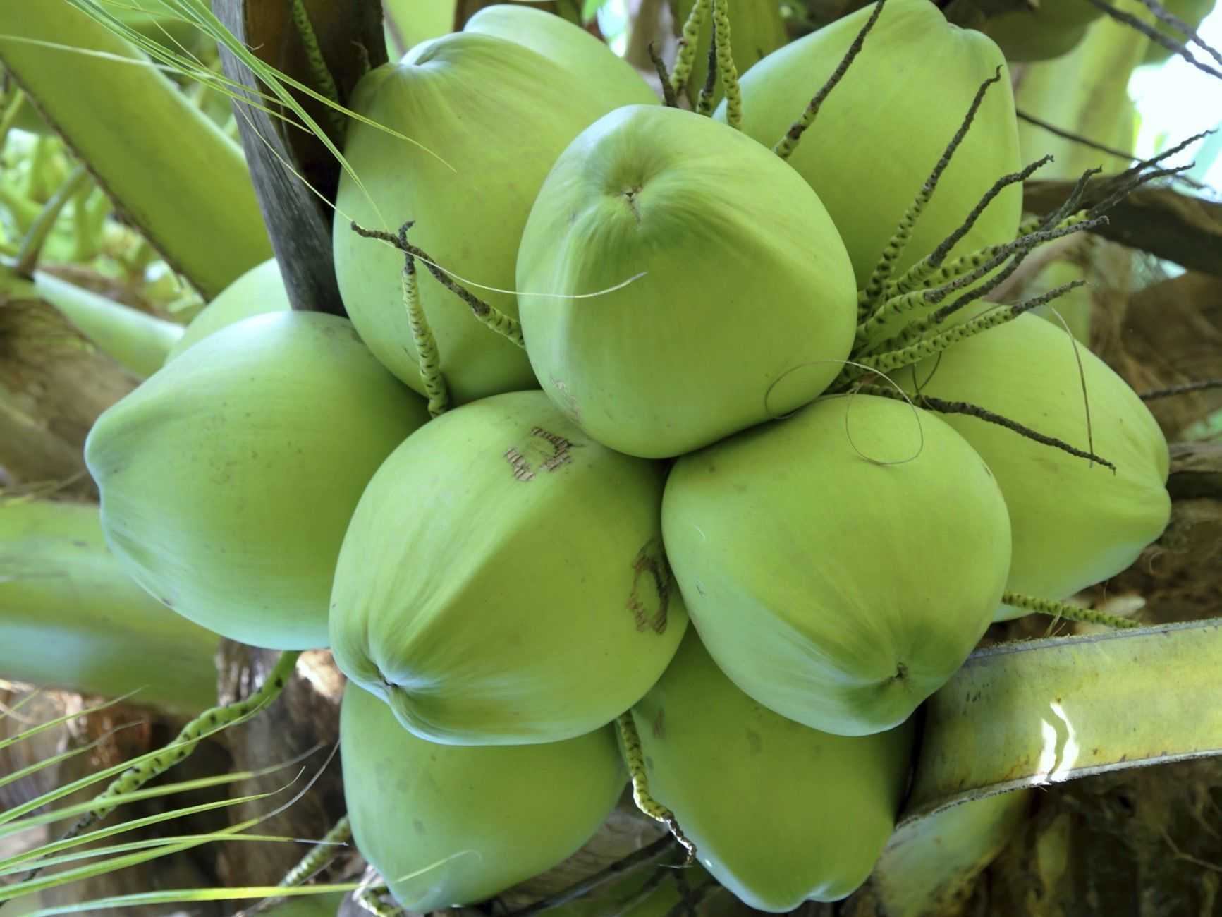 High Quality Coconut (+841214627828)