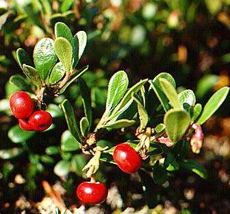 Glossy privet fruit extract