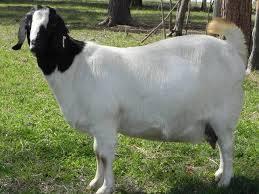 Pregnant Boer Goats For Sale