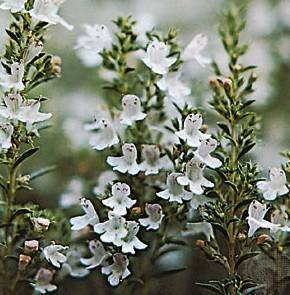 Thyme extract/herb extract/plant extract